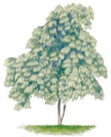 Illustration of Weeping Eastern White Pine